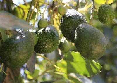 Mango, Aguacate y Tropicales